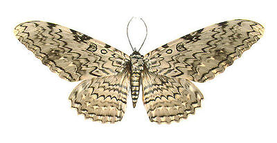 Taxidermy - real papered insects : Noctuoidae : Thysania agrippina