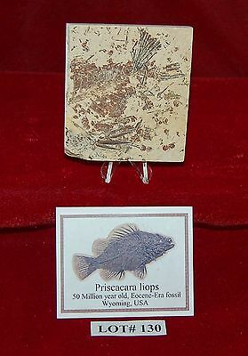 Fossil Fish PRISCACARA 50 Million Year Old+ Stand+Professional Attribution Card