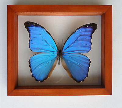 Amazing  Morpho Didius Frame Real Butterflies Mounted Wood Frame Double Glass