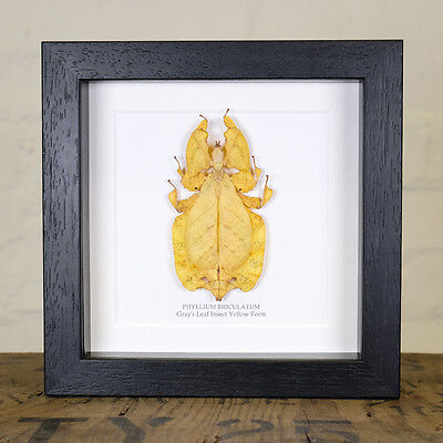 Gray's Leaf Insect Yellow Form in Box Frame (Phyllium bioculatum)
