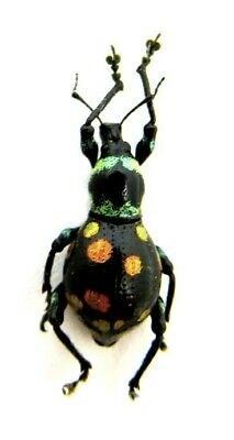 Taxidermy - real papered insects : Curculionidae : Eupyrops variabilis