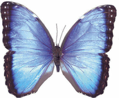 Taxidermy - real papered insects : Morphini : Morpho peleides male and female