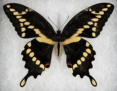 Insect/Butterfly/ Papilio crephontes ssp. - Female 4 3/4""