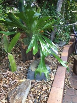 Large   Staghorn Plant