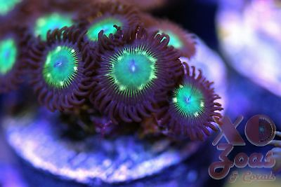 Star Lord Zoas Zoanthids 10 Polyp Soft Coral Marine Frag Zoanthus