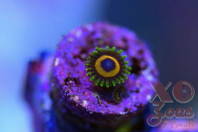 Jungle Juice Zoas Zoanthids 1 Polyp Soft Coral Frag Plug Marine High End