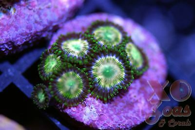 Bad Mother Pucker Zoas Zoanthids 6 Polyp Soft Coral Frag Marine High End