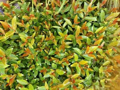 10-100 Plants Acmena Smithii Fire Screen Native Hedge Screen Lilly Pilly