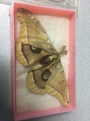 Vintage 5.5 Inch GIANT MOTH In Pink And Clear Lucite Case
