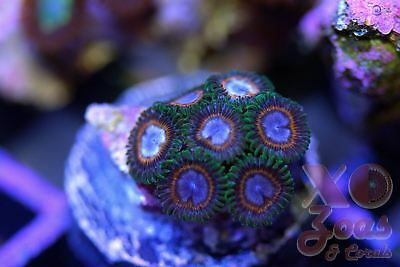 JF Fairy Tales Zoas Zoanthids 7 Polyps Soft Coral Frag Plug Marine High End