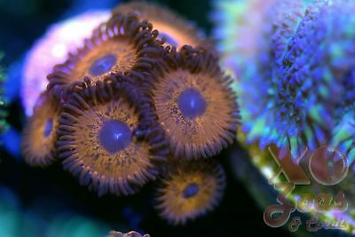 Keds Red Zoas Zoanthids 6 Polyp Frag Plug Soft Marine Coral Zoanthus