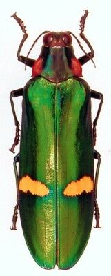 Taxidermy - real papered insects : Buprestidae : Megaloxantha bicolor palawanica