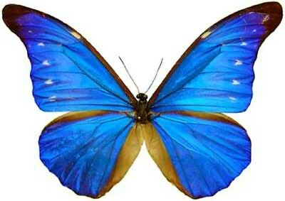 Taxidermy - real papered insects : Morphini : Morpho rethenor cacica