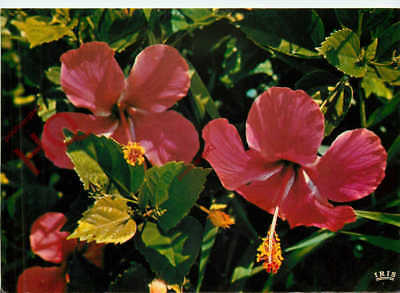 Picture Postcard--Madeira, Hibiscus, Flowers