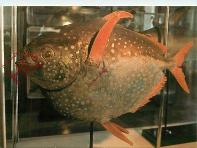 Picture Postcard--Madeira, Museu Municipal Do Funchal, Peixe Cravo, Fish