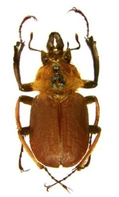 Taxidermy - real papered insects : Lucanidae : Sphaenognathus xerophilus 30/32mm