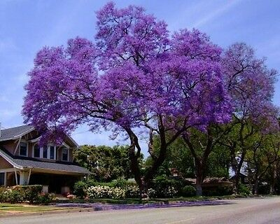 25+ Royal Empress Tree Seeds/ Flower Seeds Fast Growing Grows Anywhere/Perennial