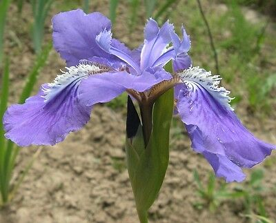 Iris tectorum (Blue Japanese roof iris) in 75mm supergro tube perennial plant