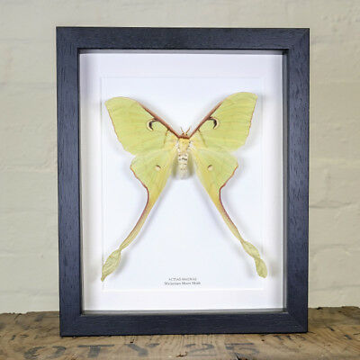 Female Malaysian Moon Moth in Box Frame (Actias Maenas)