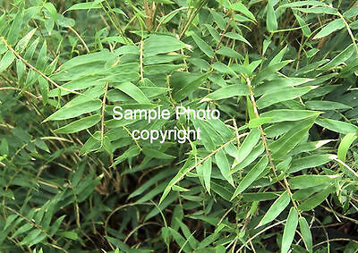 Bambusa bambos 10 Seeds Indian Thorny Bamboo Clump Type Deck plant or screening
