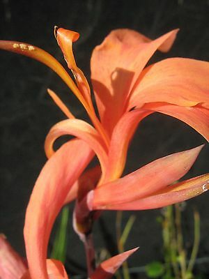 Canna Lily Tangerine Bare Rooted (Water/ Pond Plant)