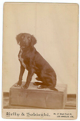 DOG SITTING UP ON WOOD BOX CABINET CARD PHOTO 1880s LOS ANGELES CALIFORNIA