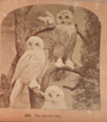 Display of Snowy Owls Antique Photo Stereoview by Kilburn