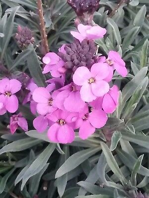 Erysimum Bowles Mauve in 50mm forestry tubes perennial plant