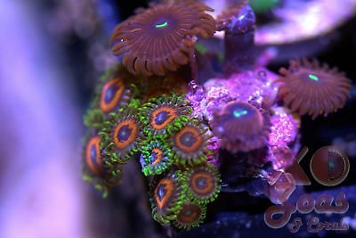 Whammin' Watermelon Red PE Zoas Zoanthids 7 Polyp Soft Coral Combo Frag Zoanthus