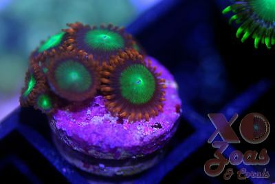 Goblins On Fire Zoas Zoanthids 6 Polyp Soft Coral Frag Plug Marine High End6