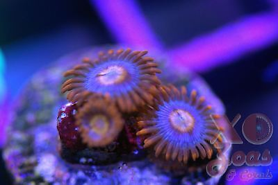 Snitches Zoas Zoanthids 2+ Polyp Soft Coral Frag High End Zoanthus