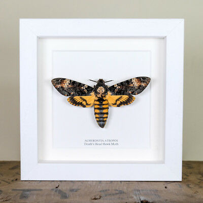 Deaths Head Hawk Moth in White Box Frame (Acherontia Atropos)
