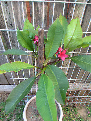 Red Potted Frangapani  Tree (Waist High)  Potted One Year