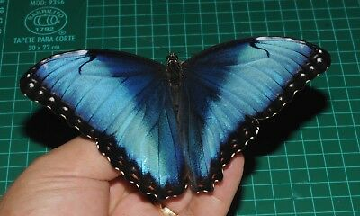 UNMOUNTED ABERRATION Morpho helenor ssp Male A1 Ex pupa Cod P24