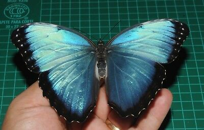 UNMOUNTED Morpho helenor ssp Male A1 Ex pupa Cod P26