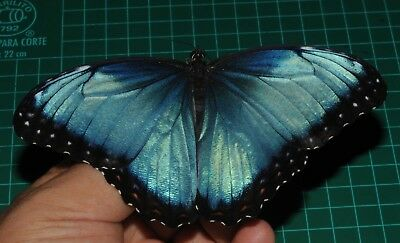 UNMOUNTED Morpho helenor ssp Male A1 Ex pupa Cod R18