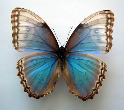 MORPHO HELENOR FAUSTINA - mixed white-blue FORM - set/spread specimen