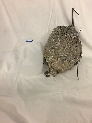 Bald Faced Hornet Nest ManCave Decor School Science Project Taxidermy Arts/Craft