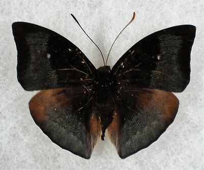 Insect/Butterfly/ Butterfly ssp. - Male 1 7/8""