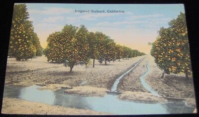 ~ANTIQUE~IRRIGATED Orange ORCHARD~Los Angeles CALIFORNIA~Post Card~UNPOSTED