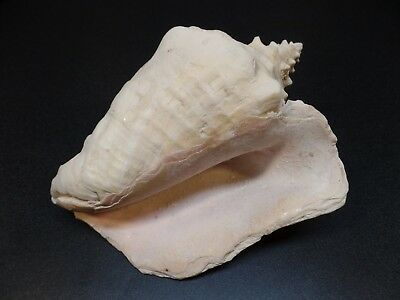 "Rare Vintage Seashells Large 8"" Pink Conch"
