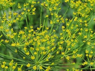 Heirloom by Zellajake Florida 34 Bouquet Dill 400 Seeds Buy 2 orders We Ship 3