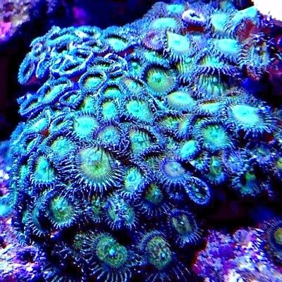 Marine Soft Coral Frag SEA GREEN PALYTHOA PALY (From Zoa Family) Price Per Head