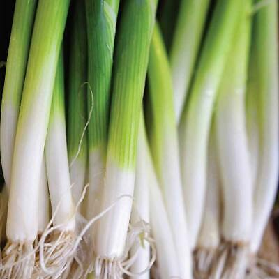 BUNCHING SPRING ONION Winter Ishikura Improved 100 Seeds shallot HARDY Vegetable