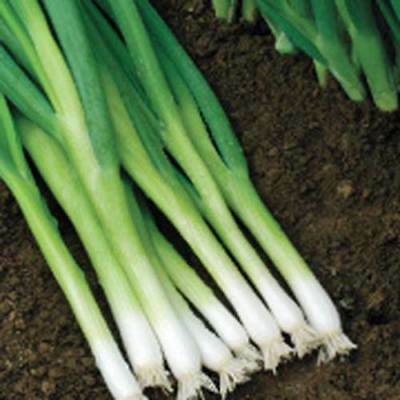 ONION 'Evergreen Bunching Nebuka' 200 HEIRLOOM seeds SLOW BOLT SHALLOT