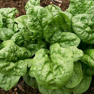SPINACH ENGLISH Bloomsdale Long Standing 50 Seeds AUTUMN WINTER Vegetable Garden