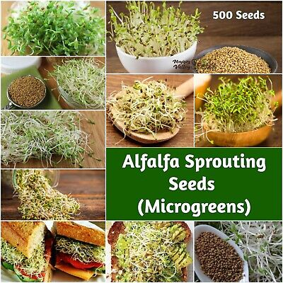 ALFALFA 500+ Seeds 'Sprout' Sprouts Sprouting MICROGREENS DELICIOUS NUTRICIOUS