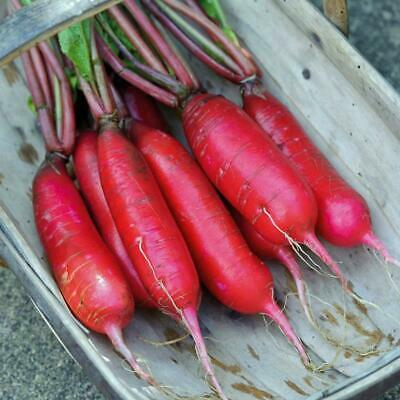 *BULK* Radish China Rose 300 Seeds Heirloom Excellent 4 Sprouting 1850s Variety