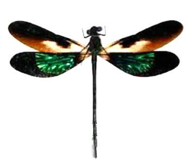 Taxidermy - real papered insects : Odonata : Euphaea variegata