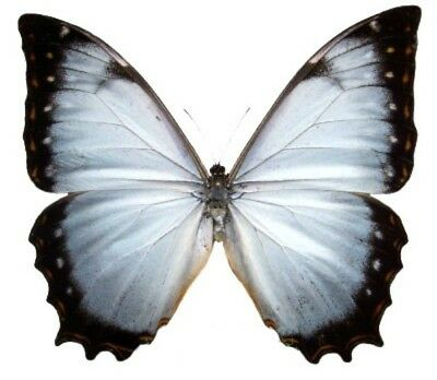 Taxidermy - real papered insects : Morphini : Morpho theseus juturna